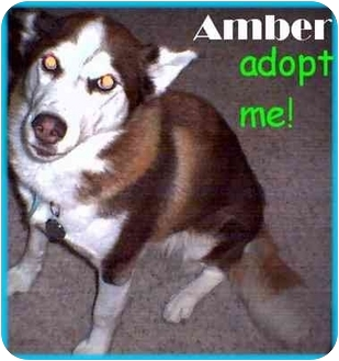 Siberian Husky Dog for adoption in Dallas & Fort Worth, Texas - Amber