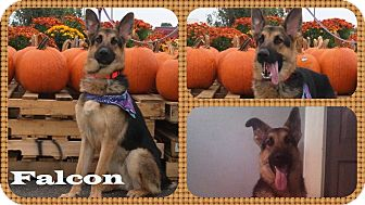 German Shepherd Dog Dog for adoption in DOVER, Ohio - Falcon