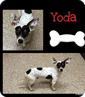 Dachshund/Fox Terrier (Smooth) Mix Dog for adoption in Snyder, Texas - Yoda