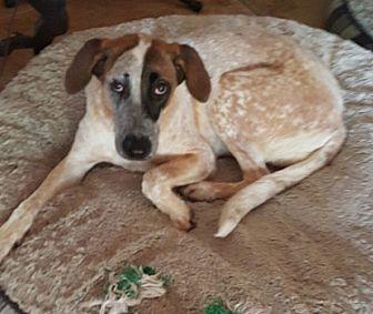 Bluetick Coonhound/German Shepherd Dog Mix Dog for adoption in Homestead, Florida - Lyndsey