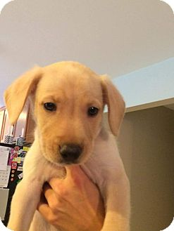 Labrador Retriever Mix Puppy for adoption in Hammonton, New Jersey - stuart