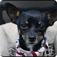 Adopt A Pet :: Zuky - Rockwall, TX