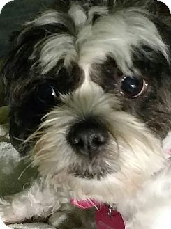 Shih Tzu Mix Dog for adoption in San Diego, California - Delilah