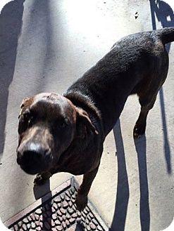 Labrador Retriever Mix Dog for adoption in Middleton, Wisconsin - Molly