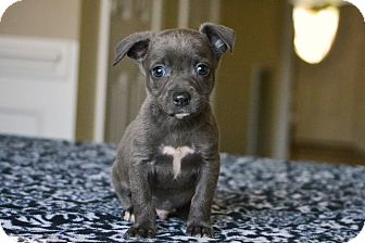Chihuahua/Staffordshire Bull Terrier Mix Puppy for adoption in Bedminster, New Jersey - Gannett