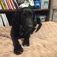 Labrador Retriever Puppy for adoption in Yorktown, Virginia - Black Bart