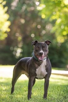 American Pit Bull Terrier Mix Dog for adoption in Dallas, Texas - Mac