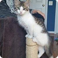 Adopt A Pet :: Venus-Adoption Pending - Arlington, VA