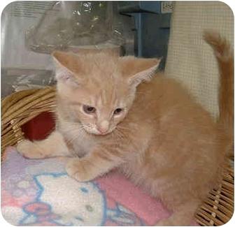 Domestic Shorthair Kitten for adoption in Honesdale, Pennsylvania - Mojo