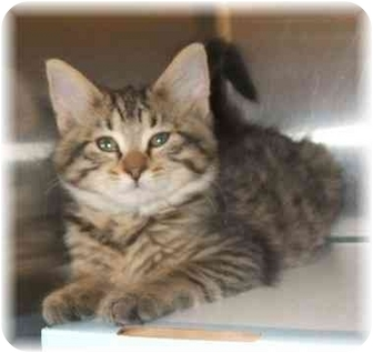 Maine Coon Kitten for adoption in Naples, Florida - Tango