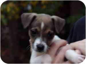 Jack Russell Terrier Puppy for adoption in Harrah, Oklahoma - Scotty