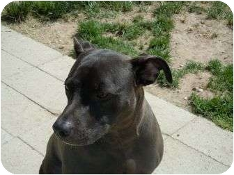 American Pit Bull Terrier Mix Dog for adoption in Meridian, Idaho - Franklin