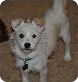 Jack Russell Terrier Mix Dog for adoption in Haughton, Louisiana - Lucy