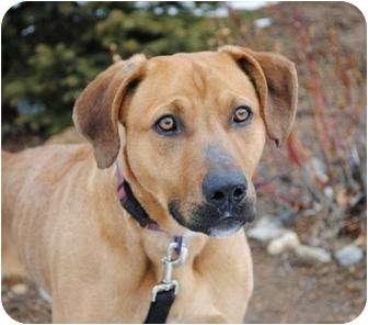 Labrador Retriever Mix Dog for adoption in Portola, California - Flannigan