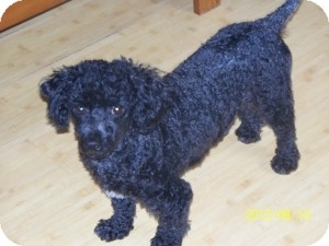 Poodle (Miniature) Dog for adoption in Melbourne, Florida - SCULLY
