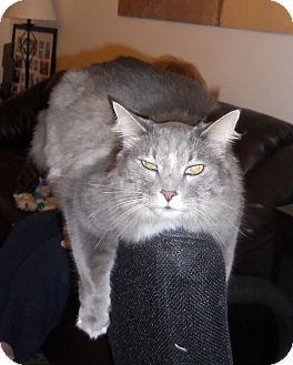 Maine Coon Cat for adoption in batlett, Illinois - Giorgio