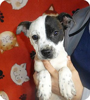 Boston Terrier Mix Puppy for adoption in Oviedo, Florida - Sheba