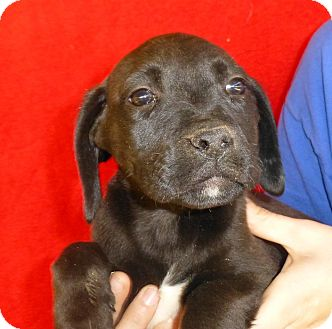 Labrador Retriever/Labrador Retriever Mix Puppy for adoption in Oviedo, Florida - Erica