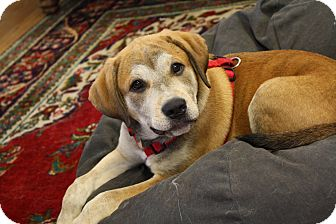 Labrador Retriever Mix Puppy for adoption in Knoxville, Tennessee - Ginger