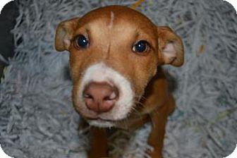 Shepherd (Unknown Type) Mix Puppy for adoption in Edwardsville, Illinois - Mia