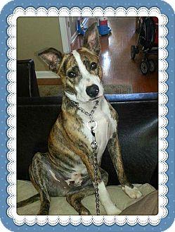 Australian Kelpie Mix Dog for adoption in Marietta, Georgia - JUNIOR aka Tiger