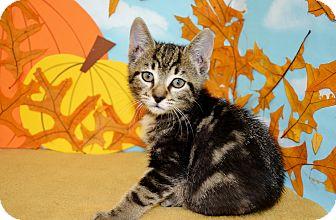 Domestic Shorthair Cat for adoption in Bradenton, Florida - Jerry