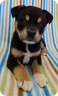 Australian Shepherd Mix Puppy for adoption in Plainfield, Connecticut - Pez (LR)