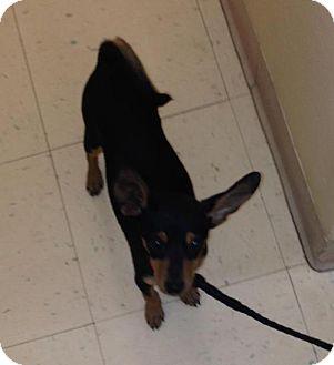 Miniature Pinscher Puppy for adoption in Phoenix, Arizona - Caden