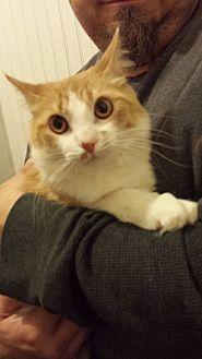 Domestic Mediumhair Cat for adoption in Clarkson, Kentucky - Ronan