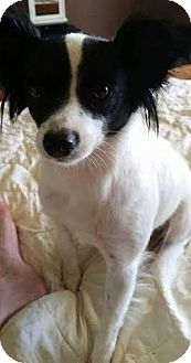 Papillon/Border Collie Mix Dog for adoption in Chattanooga, Tennessee - Abbigail(ABBY)