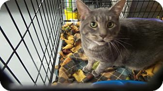 Domestic Shorthair Cat for adoption in Crown Point, Indiana - Tini