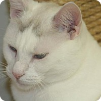 Adopt A Pet :: Pear - Colorado Springs, CO