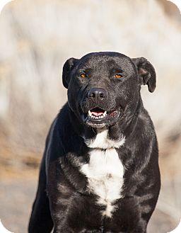 Labrador Retriever/Rottweiler Mix Dog for adoption in Washoe Valley, Nevada - Wes