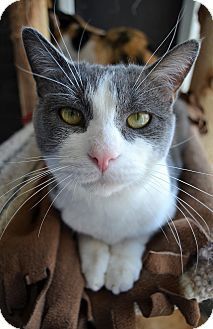 Domestic Shorthair Cat for adoption in Michigan City, Indiana - Simba