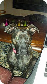 Retriever (Unknown Type)/Australian Cattle Dog Mix Dog for adoption in Cranston, Rhode Island - Hazel