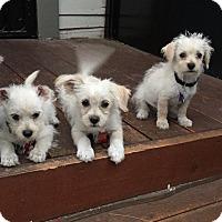 Adopt A Pet :: Kendall - Los Angeles, CA