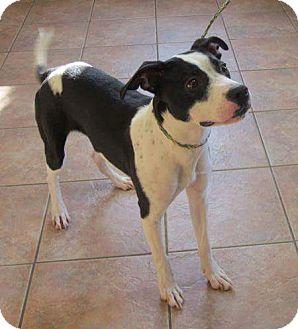 Labrador Retriever Mix Puppy for adoption in Mantua, New Jersey - Flash