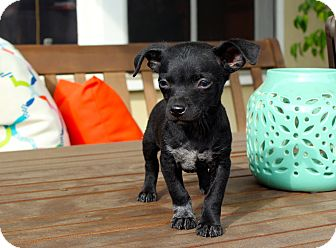 Chihuahua Mix Puppy for adoption in Los Angeles, California - Lightning