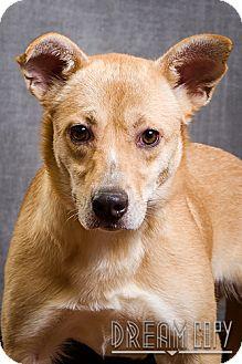 Labrador Retriever Mix Dog for adoption in Owensboro, Kentucky - Sandy- DRD graduate