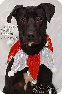 Labrador Retriever Mix Dog for adoption in Newnan City, Georgia - Candy Cane