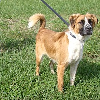 St. Bernard Mix Dog for adoption in Cameron, Missouri - Jethro