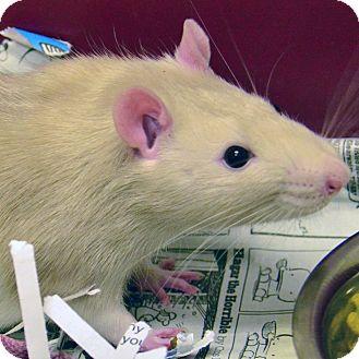 Rat for adoption in Brooksville, Florida - 10309850