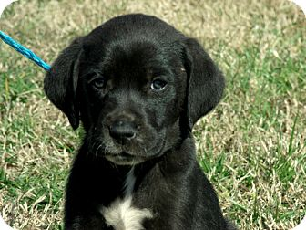 Labrador Retriever/Spaniel (Unknown Type) Mix Puppy for adoption in Waterbury, Connecticut - Cedric/ADOPTED