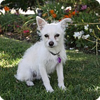 Poodle (Miniature)/Westie, West Highland White Terrier Mix Puppy for adoption in Newport Beach, California - NEWT