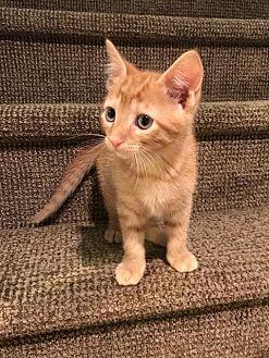 Domestic Shorthair Kitten for adoption in Devon, Pennsylvania - Jonathon