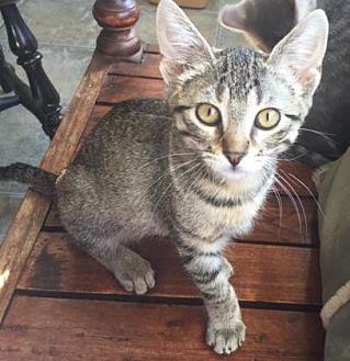 Domestic Shorthair/Domestic Shorthair Mix Kitten for adoption in Bulverde, Texas - Pixie 4