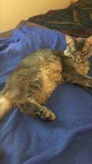 Maine Coon/Domestic Shorthair Mix Cat for adoption in Santa Cruz, California - Prince Adam