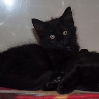 Domestic Mediumhair Kitten for adoption in New Martinsville, West Virginia - Anastasia