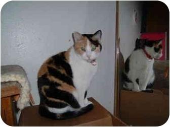 Domestic Shorthair Cat for adoption in Farmington, Arkansas - Attie