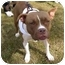 Photo 4 - American Pit Bull Terrier/Boxer Mix Dog for adoption in Troy, Michigan - Rose